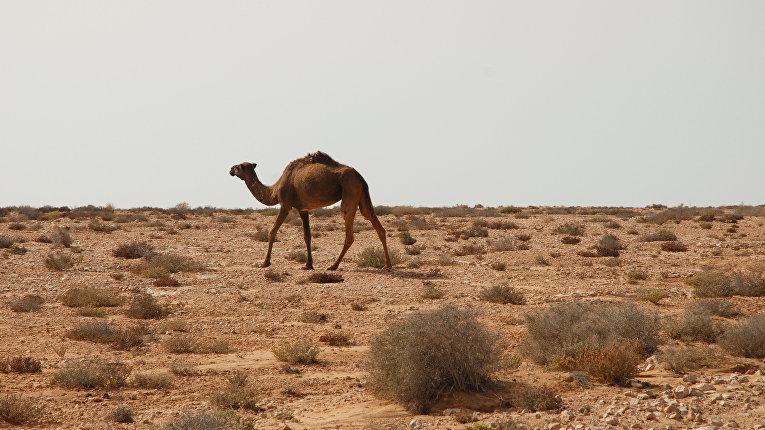 верблюдов