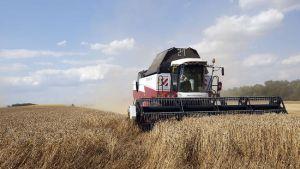 пшеницы