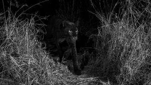 леопарда