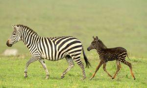 зебру
