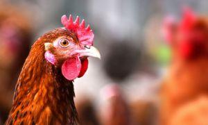 птичьего гриппа