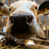подняли корову