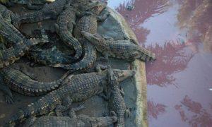 Массовый побег с крокодиловой фермы