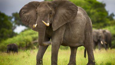 слонихи